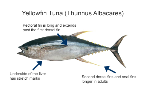 Yellowfin tuna for Does tuna fish have scales